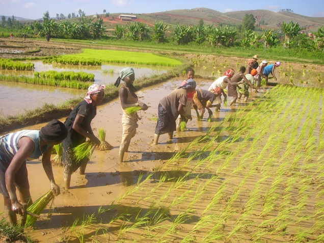 repiquage riz.JPG